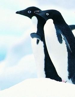 google et pingouin